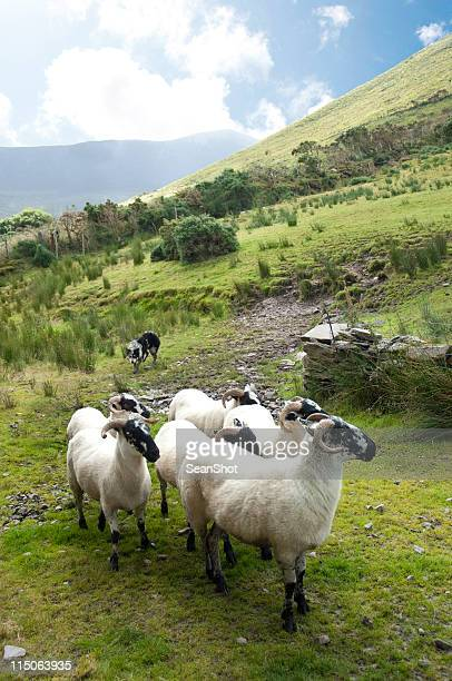 Sheeps and Border Collie