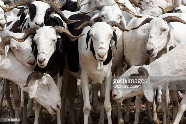Sheeps are pictured at a cattle market near the Sedar Senghor stadium 28 December 2006 in Dakar before the Muslim Eid alAdha the Feast of Sacrifice...