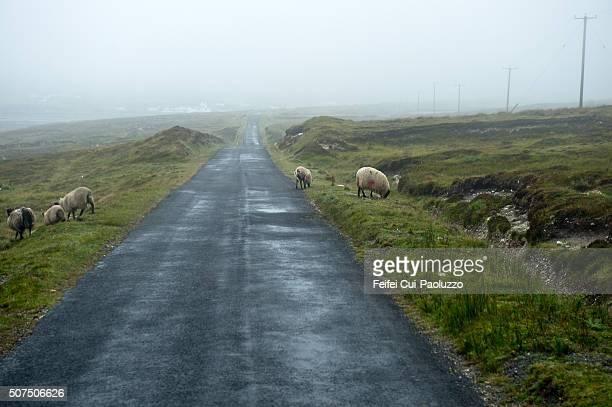 Sheeps grazing at Dooega of Achill Island of County Mayo Ireland