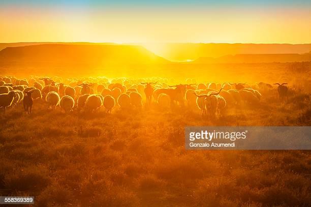 Sheeps in Bardenas Reales Natural Park