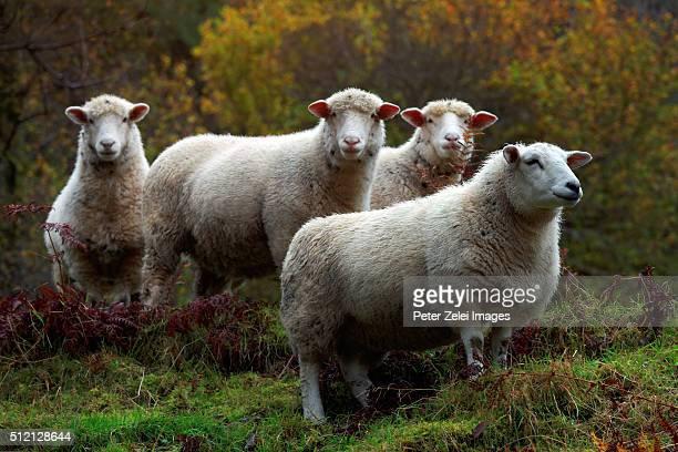 Sheeps in Ireland