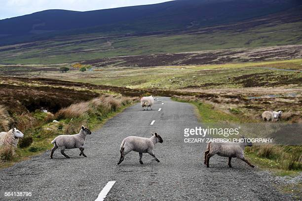 Sheeps on a road