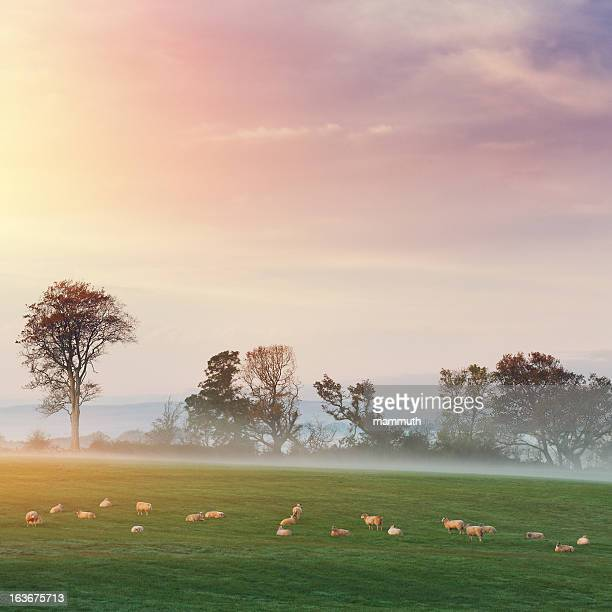 sheeps on the pasture at dawn