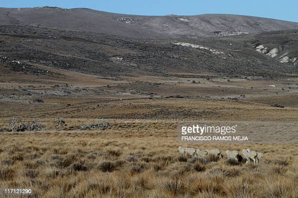 Sheeps stand in a farm near San Carlos de Bariloche some 1600 of Buenos Aires in the Argentine province of Rio Negro on June 20 2011 AFP PHOTO /...