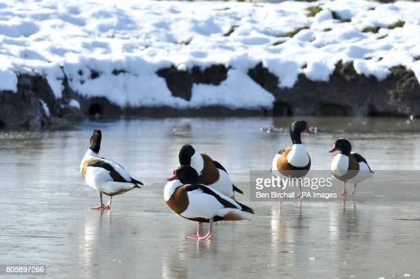 Shelducks brave the cold as they stand on a frozen lake at Slimbridge Wetland Centre in Gloucestershire