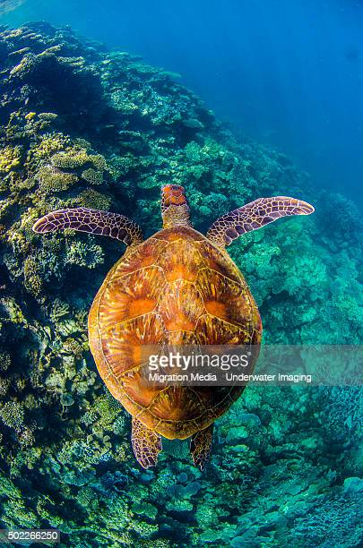 Shell turtle