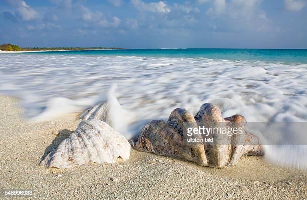 Shells at Bikini Beach Marshall Islands Bikini Atoll Micronesia Pacific Ocean