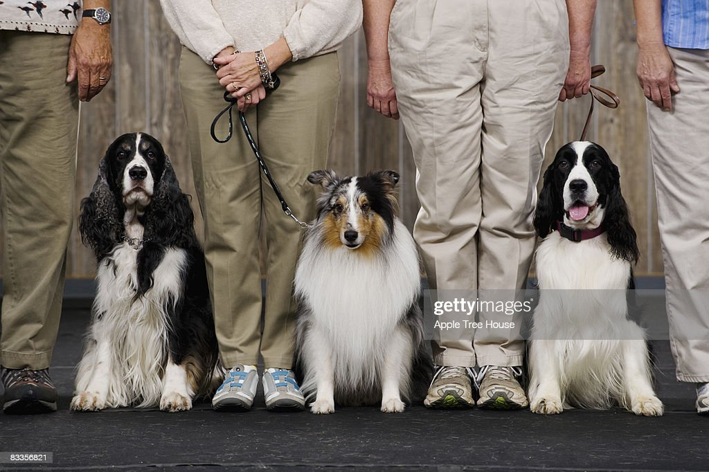 Sheltie between two Springer Spaniels : Stock Photo