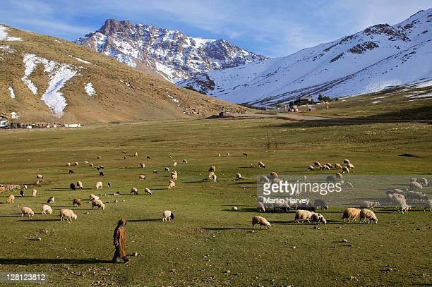 Shepard and sheep (Ovis aries) in the High atlas region of Oukaimeden, Morocco, North Africa