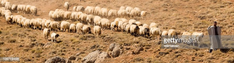 Shepherd and flock of sheeps in panoramic composition