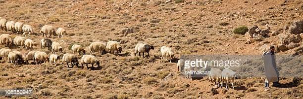 Shepherd and flock of sheeps