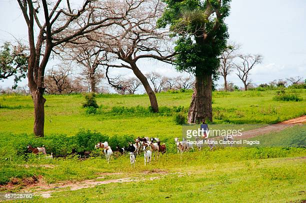 Shepherd boy with goats in the green savannah