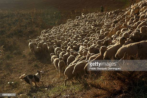 A shepherd dog helps guiding the sheep herd along the Canada Real Conquense o de los Serranos on November 22 2015 in Alhambra in Ciudad Real province...