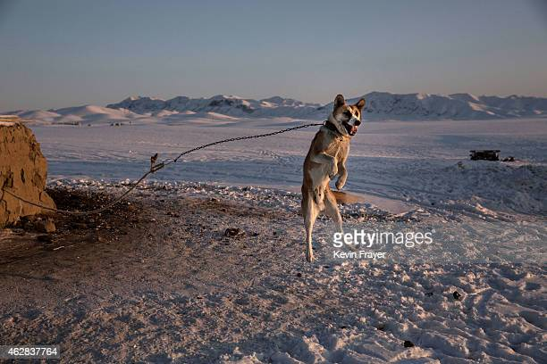 A shepherd dog leaps in the air as it protects a homestead next to a local eagle hunting competition on January 30 2015 in the mountains of Qinghe...
