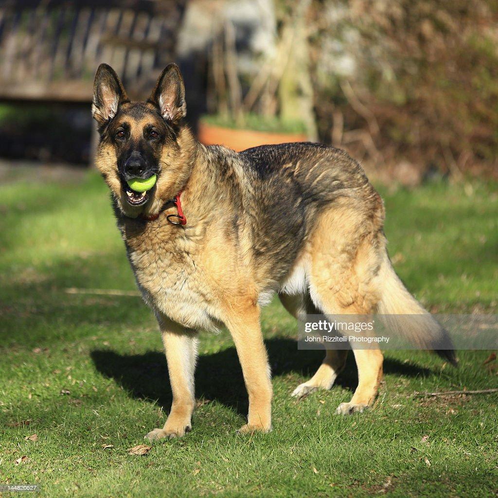 Shepherd dog playing with ball