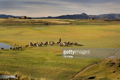 Shepherd Farmer Herding Sheep, Lambs in Andes, Peru, South America