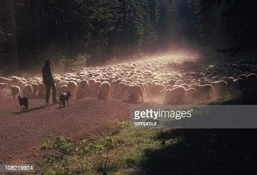 Shepherd, Herding Dogs, and a Flock of Sheep