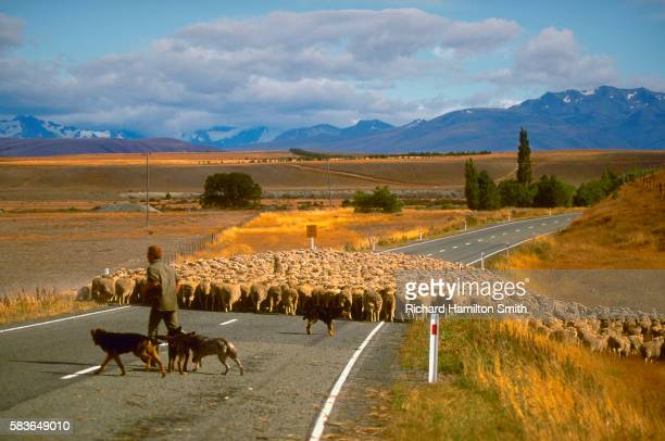 Shepherd Herding
