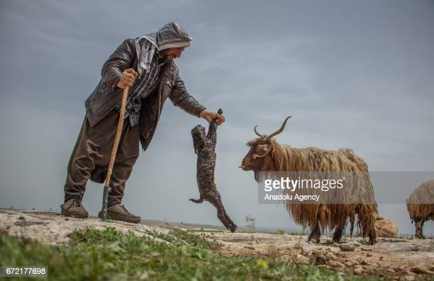 A shepherd holds a new born lamb on grassland in the Karacadag region of Siverek district in Sanliurfa Turkey on April 22 2017 Nomadic families who...