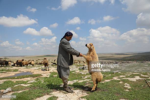 A shepherd holds a sheep on grassland in the Karacadag region of Siverek district in Sanliurfa Turkey on April 22 2017 Nomadic families who have to...
