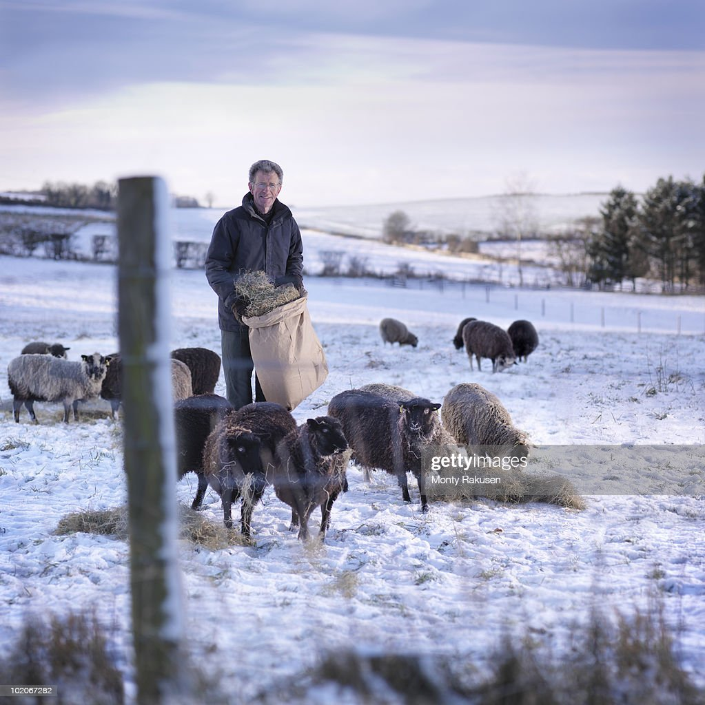 Shepherd In Field With Sheep & Snow : Stock Photo