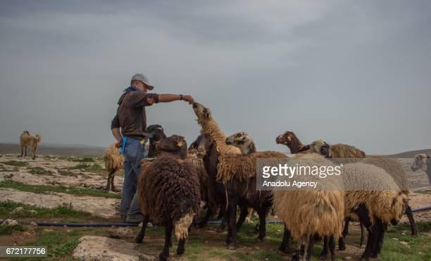 A shepherd is seen near sheep on grassland in the Karacadag region of Siverek district in Sanliurfa Turkey on April 22 2017 Nomadic families who have...