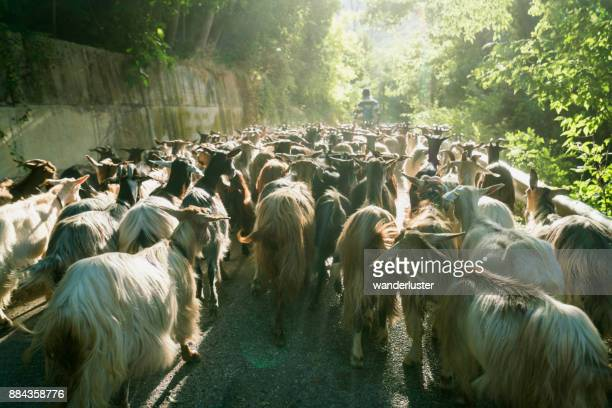 Shepherd leads a herd of goats down a narrow road on a summer morning during the annual migration transumanza through the mountains of central Italy in Abruzzo, Italy, Europe