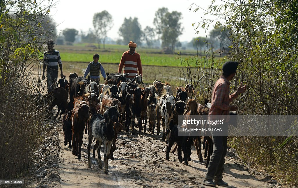 A shepherd leads his goats along a path near the India-Pakistan border in Gharana, some 35 kms southwest of Jammu, on January 19, 2013. On both sides of the de facto border in Kashmir, villagers living on one of the world's most dangerous flashpoints have special reason to fear the return of tension between India and Pakistan. The spike in cross-border firing in Kashmir -- a region claimed wholly by both India and Pakistan -- has seen five soldiers killed in recent days and threatened to unravel a fragile peace process that had begun to make progress. AFP PHOTO/Tauseef MUSTAFA