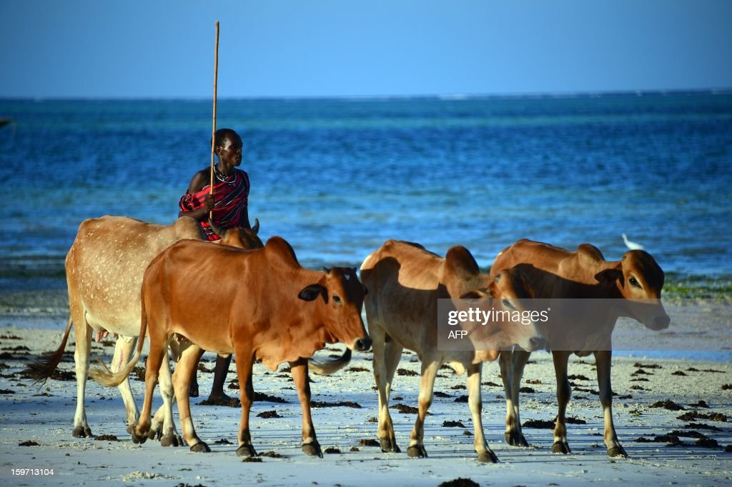 A shepherd leads his herd of cows on a beach on January 7, 2013 in Zanzibar.