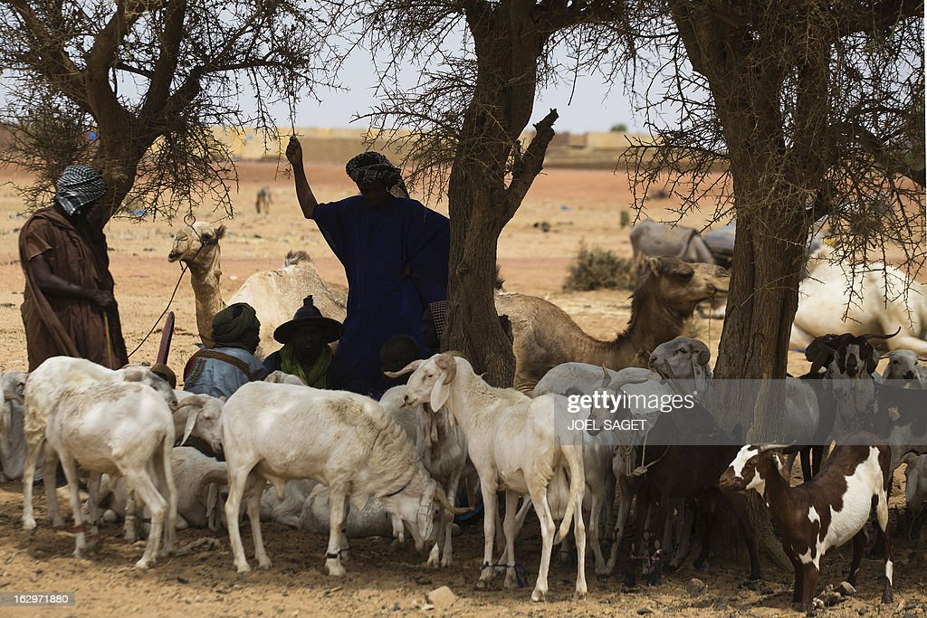 A shepherd minds his flock in Bore, near Mopti, on March 2, 2013. French and Malian troops have been pushing back armed Islamist militant groups for nearly two months, after they gained control of the north of the country during 2012.