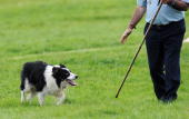 Shepherd Patrick McGoldrick of Donegal in Ireland directs his sheepdog Glen during the final day of the International Sheepdog Trials in Lowther near...