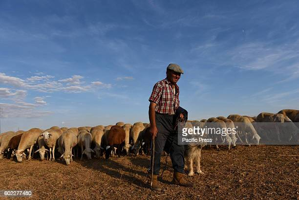 A shepherd pictured with his dog and his flock of sheep in Morón de Almazán north of Spain