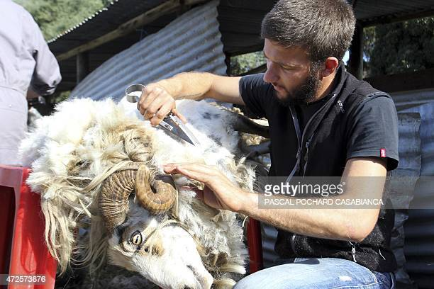 A shepherd shears a sheep with scissors on May 8 2015 in Appietto French Mediterranean island of Corsica AFP PHOTO / PASCAL POCHARDCASABIANCA