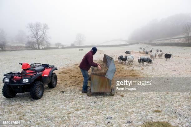 Shepherd with ATV bike putting hay into hay rack for Herdwick sheep to eat from Keswick English Lake District