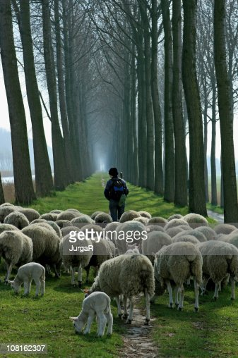 Shepherd with flock of sheep follwoing path between tall trees