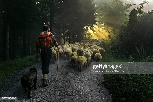 A shepherd with his dog in the transhumance of sheep from the valley to the Sierra de Aralar in Guipuzcoa, Spain. A course of many hours, so you have to leave at dawn with the first rays of the sun. Shepherd with his flock of sheep.