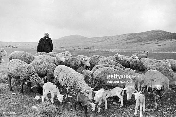 Shepherd With His Flock In Cheylade Cantal