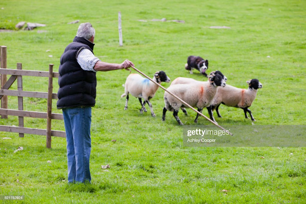 A shepherd working his dog and sheep at the Vale of Rydal Sheepdog Trials, Ambleside, Lake District, UK.