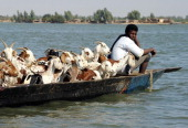 A shepherds sits in a pirogue with his cattle as he sails on the Niger river near Timbuktu on February 4 2013 French fighter jets pounded Islamist...
