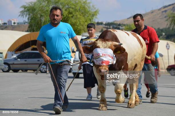 Shepherds take a sacrificial cow to measure its weight at a livestock market in the Yakacik area of Ankara Turkey on August 20 2017 Shepherds have...