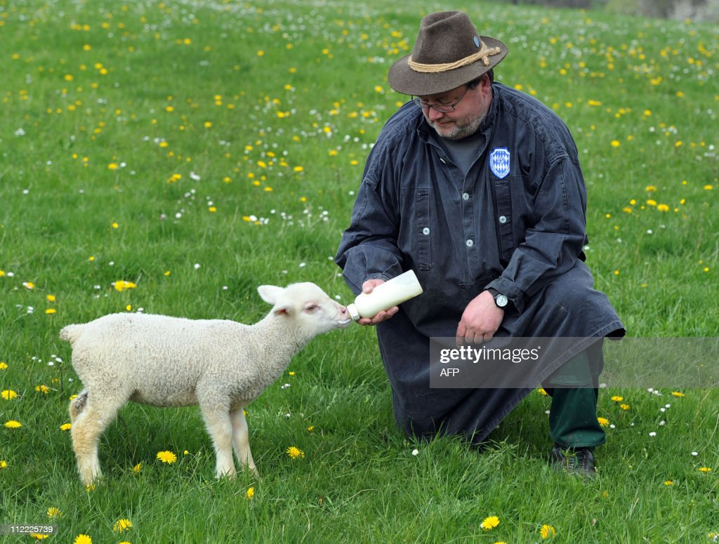 Sheppard Christian Florack feeds a five weeks old lamb with a bottle at a meadow near the small village Utting, southern Germany, on April 15, 2011. Christian Florack runs a sheep farm with over 300 animals.