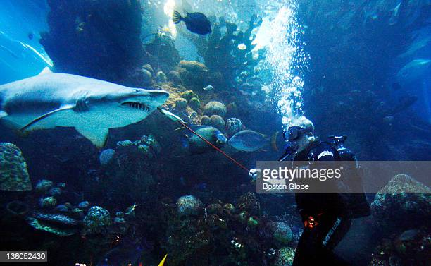 Sherrie Floyd Cutler a New England Aquarium senior staff diver serves up herring for breakfast to a shark at the Aquarium She has never been bitten...