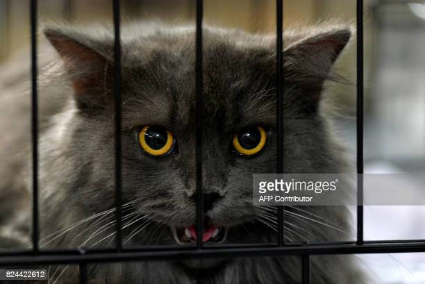Sheru a Siberian cat is seen in a cage during the 8th International Cat Show organised by the World Cat Federation in Bangalore on July 30 2017 / AFP...