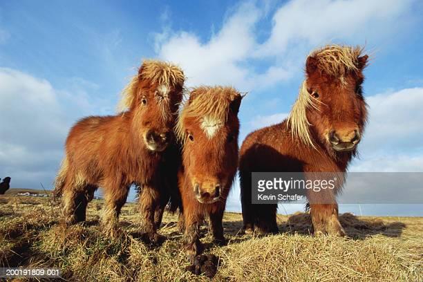 Shetland ponies (equus caballus) grazing