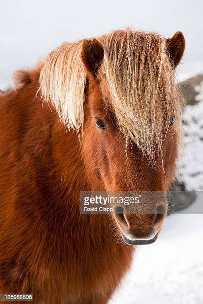 Shetland pony (Equus caballus) looking for food after heavy snow fall on Dartmoor, Devon, England, UK, February 2009
