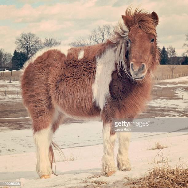 Shetland pony posing in snow