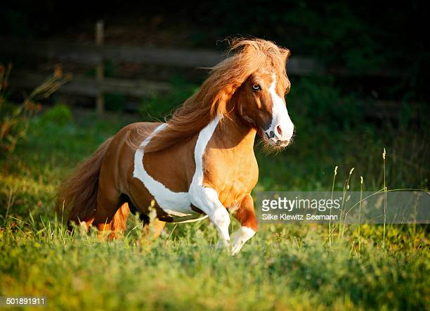 Shetland Pony, skewbald horse, galloping across a meadow