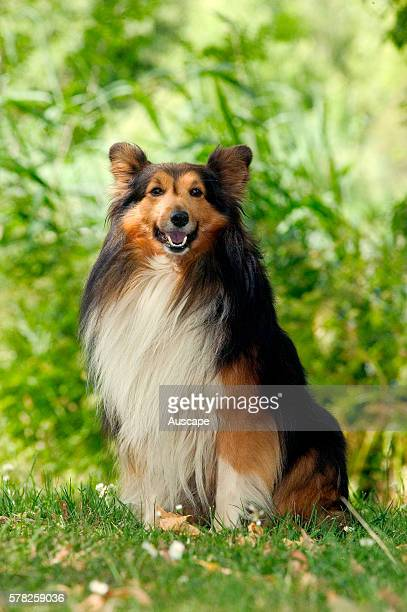 Shetland sheepdog Canis familiaris sitting in garden attentive This breed originated on the Shetland Islands off the north coast of Scotland