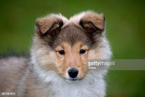 Shetland Sheepdog / collie pup close up portrait in garden