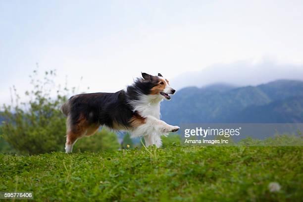 Shetland Sheepdog Running in Field